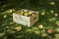 Photo of freshly picked red apples in a wooden crate stock images