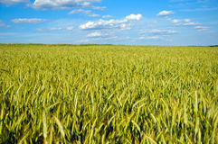 Fully grown grain Stock Photography