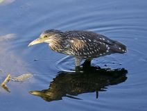 photo of a funny black-crowned night heron walking in the water. Photo of a funny black-crowned night heron standing on the shore Stock Photography
