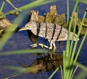 Photo of a funny black-crowned night heron walking in the water. Photo of a funny black-crowned night heron standing on the shore Royalty Free Stock Image