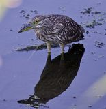 Photo of a funny black-crowned night heron in the water. Photo of a funny black-crowned night heron standing on the shore Royalty Free Stock Photography