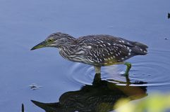 photo of a funny black-crowned night heron in the water. Photo of a funny black-crowned night heron standing on the shore Stock Photography