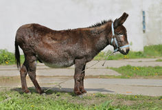 Photo funny donkey. Bright picture funny a donkey sunny day Royalty Free Stock Photography