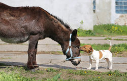 Photo funny donkey and dog Stock Photography