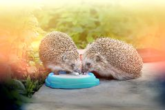 Photo funny hedgehogs Royalty Free Stock Photography