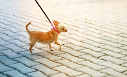 Photo funny a little dog walking. Along the road Royalty Free Stock Images
