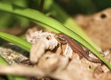 Photo of a funny little lizard Stock Image