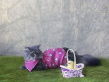 Spring postcard with a beautiful fluffy cat in a pink dress and a small chicken in a basket. Photo of funny pets on a spring background a like to an Easter card Royalty Free Stock Photos