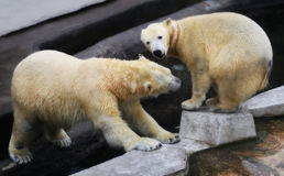 Photo of funny playing bears. In winter stock photography