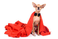 Photo of a funny toy terrier on a white background Stock Photography