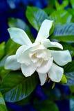 Photo of a Gardenia on bush. Photo taken in Newport News, Virginia of Gardenia on the bush royalty free stock photo