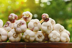 Photo of the garlic harvest on a wooden table outdoors against natural green background. Organic vegetables. Farming. Stock Image