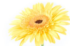 Photo of a gerbera Stock Photography