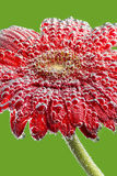 Photo gerbera flower covered with transparent drops Stock Photo