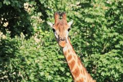 Photo of a giraffe`s head in the face with a cute expression of the muzzle close-up on a long neck against the background of gree. N trees in the zoo stock photo