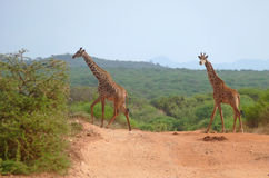 Photo of the giraffe in savannah. Stock Photography