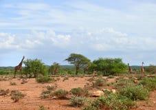 Photo of the giraffe in savannah. Royalty Free Stock Photography
