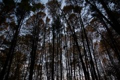 Gloomy pine forest Stock Image