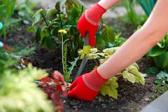 Photo of gloved woman hands with tool removing weed from soil Stock Photography