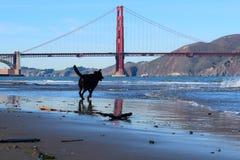 Dog running towards Golden Gate Bridge, San Francisco, CA stock photography