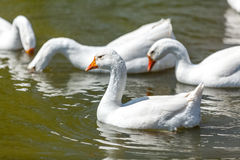 Photo of gooses swimming and diving on lake Stock Image