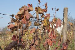 Photo of grape leaves background, autumn after harvest season. vineyard valley, farming nature, fall foliage, autumnal grapes bran. Photo of grape leaves Stock Photo
