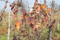 Photo of grape leaves background, autumn after harvest season. vineyard valley, farming nature, fall foliage, autumnal grapes bran. Photo of grape leaves Royalty Free Stock Photos
