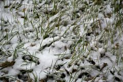 Grass in the snow. Photo of the grass on which lies the snow Stock Images