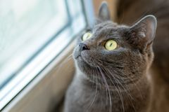 Gray cat on the windowsill looks out the window in surprise royalty free stock images
