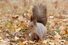 Photo of gray squirrel Royalty Free Stock Photography