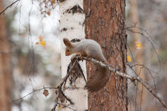 Photo of gray squirrel Stock Photography
