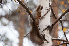 Photo of gray squirrel Royalty Free Stock Photo