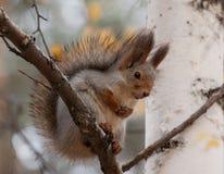 Photo of gray squirrel Royalty Free Stock Photos