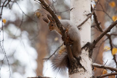 Photo of gray squirrel Royalty Free Stock Images