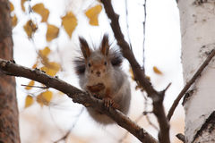 Photo of gray squirrel Royalty Free Stock Image