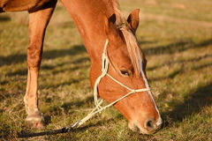 Photo of a grazing horse in field Stock Photos