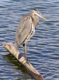 Photo of a great blue heron cleaning feathers Royalty Free Stock Image