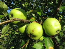 Green Ripe Apples Ready for Picking in July royalty free stock image