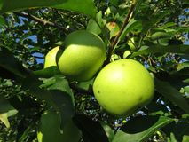 Summer Green Ripe Apples Ready for Picking stock photo