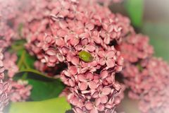 Photo of a green beetle on a background of pink flowers with a white vignette.  Stock Image