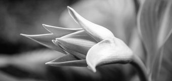 Photo of the green bud of white flower in the garden black and white. Photo of the green beautiful bud of white flower in the garden black and white Stock Photography