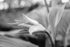 Photo of the green bud of white flower in the garden black and white. Photo of the green beautiful bud of white flower in the garden black and white Royalty Free Stock Images