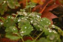 Drops of dew on leaves in the deserted forest royalty free stock images