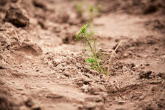 Photo of green fir-tree sprouts planted in soil Stock Photo