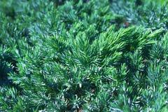 A photo of the green fresh juniper bush with green needles. Evergreen juniper background. Ornamental thorns of Juniperus communis, stock images