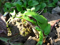 Photo, green frog, nature, Raika, tree frog. Reptile close up on a background of the earth. wood green frog, tree frog, Raika Royalty Free Stock Photo