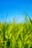Photo of green grass at summer day on a blue sky background Royalty Free Stock Photo