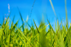 Photo of green grass at summer day on a blue sky background Royalty Free Stock Images