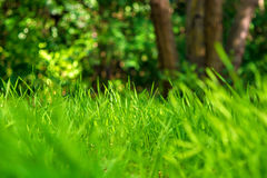 Photo of green grass on the trees background Royalty Free Stock Photo