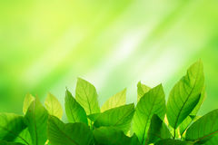 Photo of Green leaf on bright and light green color blur backgro Royalty Free Stock Photos